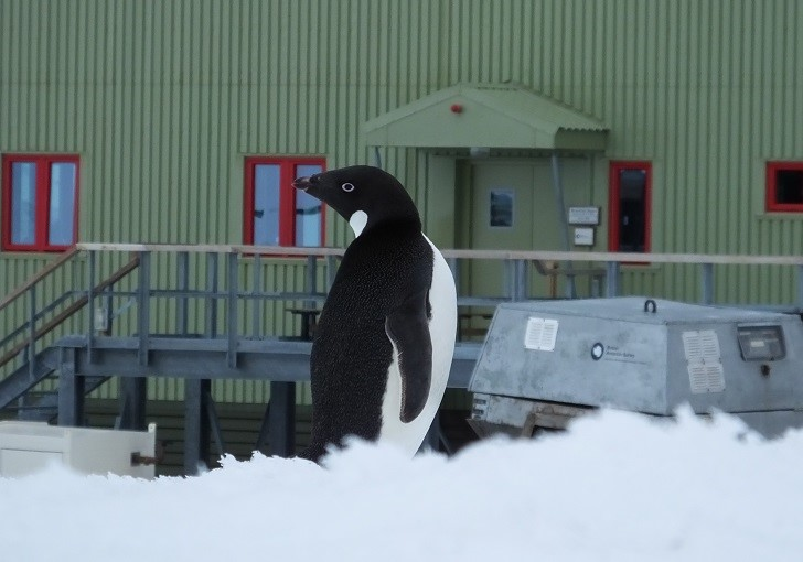 Adelie Penguin at Rothera station (PolarGAP)