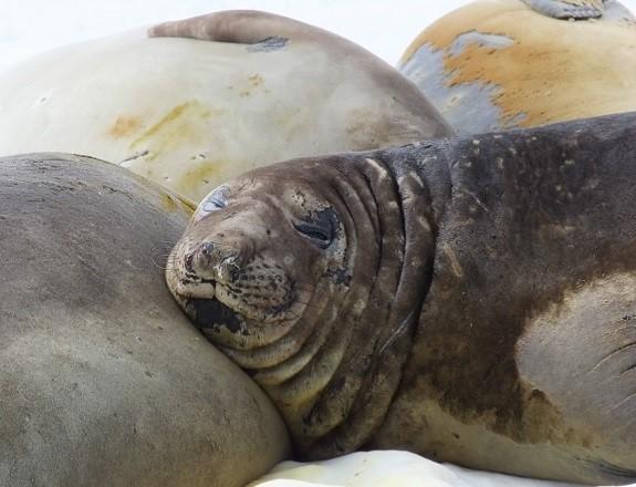 Elephant Seals at Rothera station (PolarGAP)