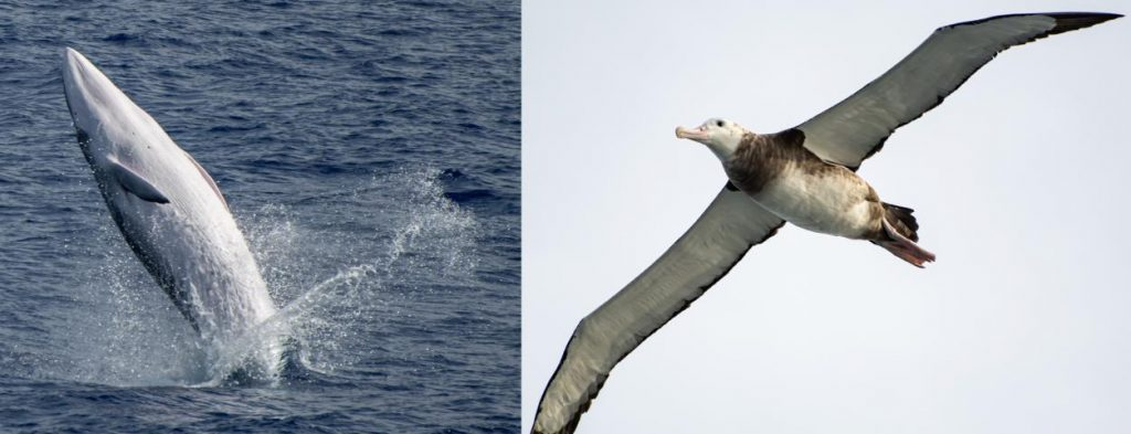 Wandering Albatross and whale. (photo courtesy of Chief Officer of RRS Discovery Rob Odenven)