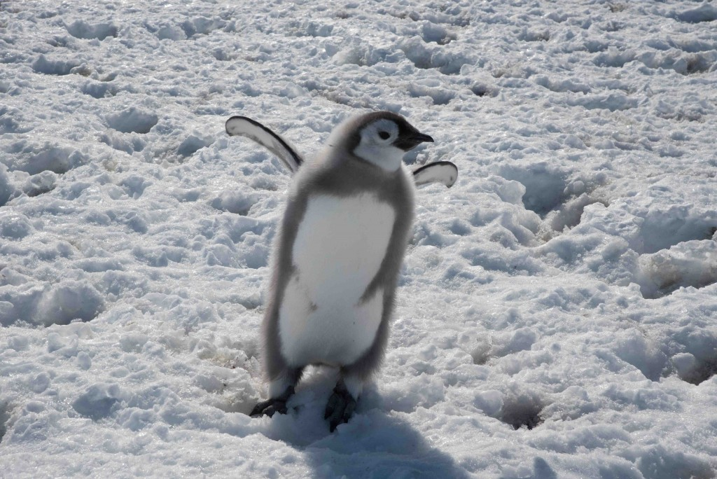 Baby Pingu. Credits: ESA/IPEV/PNRA-B. Healey