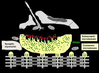 Human Neuromuscular Junction. Credits: Salanova, Volpe, Blottner, IUBMB Life (2013)