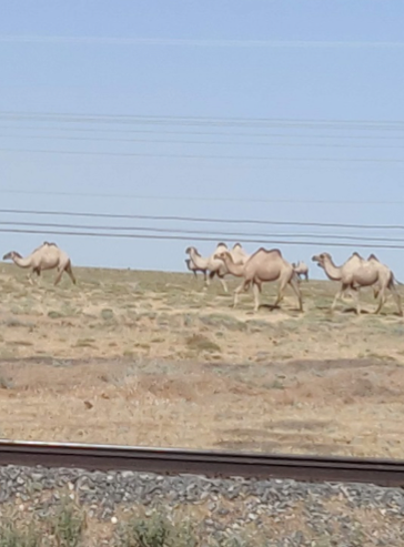 Picture-4-roadside-camels