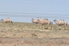 Picture-4-roadside-camels
