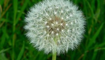 The fluffy particles are likened to the density of dandelion seed heads. Image: Greg Hume - Own work. Licensed under CC BY-SA 3.0 via Wikimedia Commons